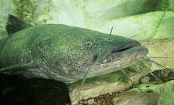 CatfishIRL