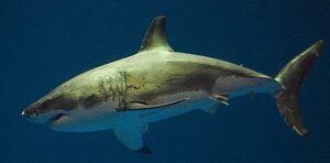 SharkIRL