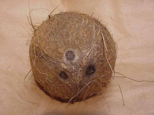 File:Coconut.jpg