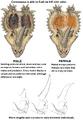 Centrosaurus.png