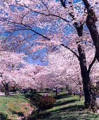 File:Cherryblossoms.jpg