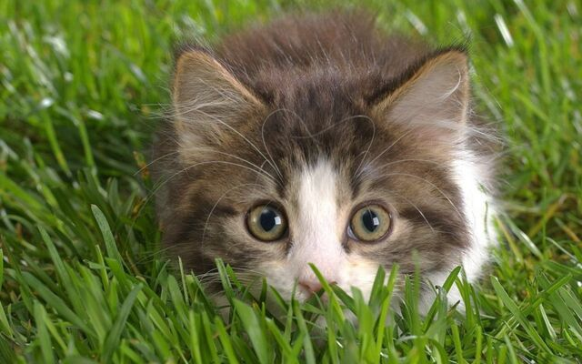 File:Cute-Kitten-kittens-16096139-1280-800.jpg