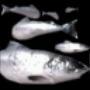 AoM Fish Icon
