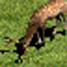 Deer-icon-aoe2.jpg