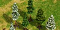 Walking Snowy Pine