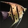 Batfish.png