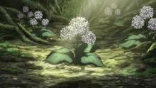 Senjuso Herb