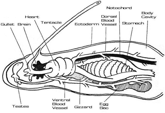 File:Regulan Bloodworm internal.jpg