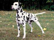 Dalmatian-1-