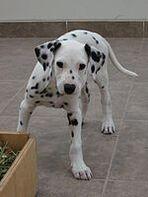 DalmatianThreeMonths