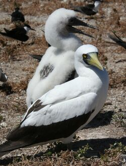 Masked booby with chick