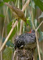 Small brown bird places an insect in the bill of much larger grey bird in nest