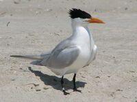 Royal Tern (Thalasseus maxima) RWD4