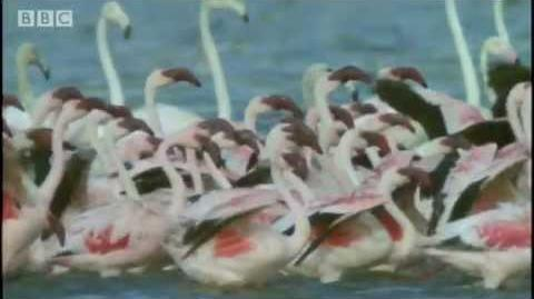 Flamingo attacked by fish eagle! - Massive Nature - BBC