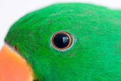 Male Eclectus Parrot close up