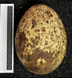 Pandion haliaetus MWNH 0705