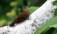 Amazonian Barred-woodcreeper (Dendrocolaptes certhia)