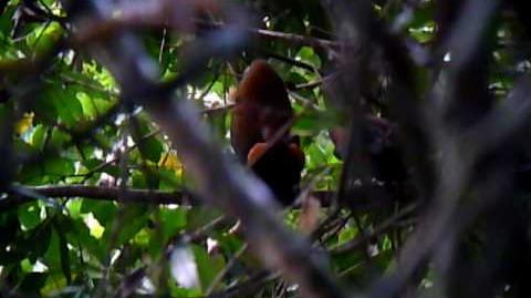 Capuchinbirds Displaying at a Lek in Guyana