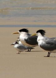 Little Tern with Crested Terns