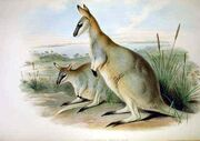 Macropus greyi - Gould