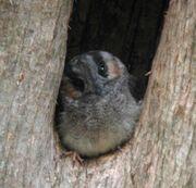 Australian Owlet-nightjar Samcem Jan03