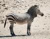 Hartmann zebra hobatere S