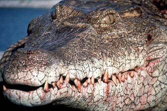 Photo-Crocodile-2000-1