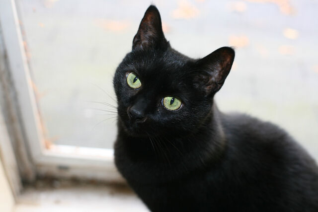 File:Cat-pictures-black-cat-473.jpg