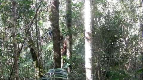 Indri Vocalizations - Maromizaha Forest, Madagascar - 13 July 2012