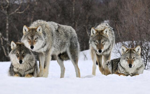 File:Gray wolves norway-wide.jpg