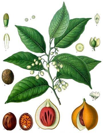 File:Myristica fragrans - Köhler–s Medizinal-Pflanzen-097.jpg