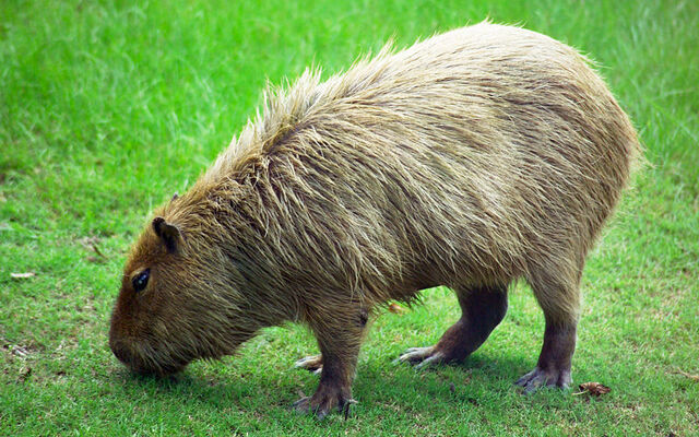 File:800px-Capybara Hattiesburg Zoo (70909b-42) 2560x1600.jpg