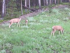 File:242px-Deer grazing at RMNP, CO IMG 5306.jpg