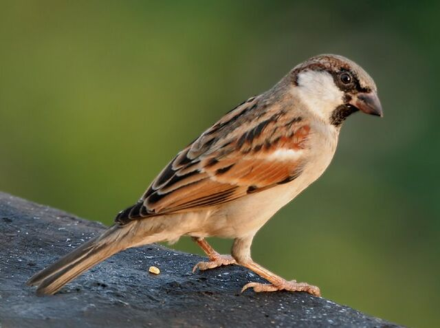 File:House Sparrow (M) I IMG 7881.jpg