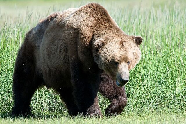 File:800px-Brown bear.jpg