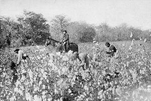 PSM V54 D025 Cotton field in mississippi