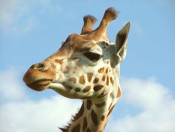Giraffe Portrait - Woburn Safari Park - Monday August 27th 2007
