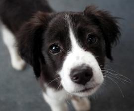 File:Dog puppy lookinup 270x224.jpg