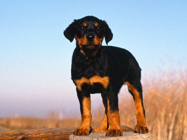 File:Rottweiler-Puppy-puppies-9460976-1600-1200.jpg