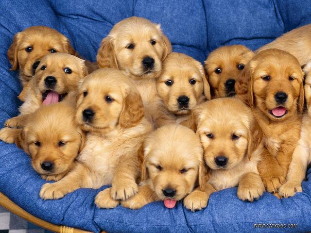 File:Golden-retreiver-puppies.jpeg