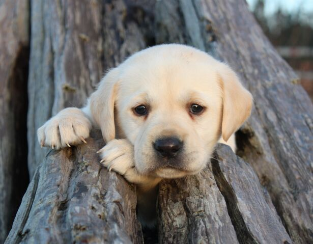 File:Lab-Puppy-Playing-in-Driftwood-labrador-retreivers-24217443-2560-1995.jpg