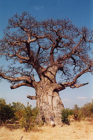 File:Baobob tree.jpg