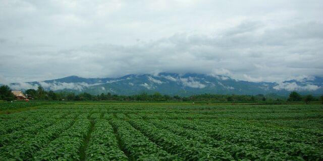 File:Bush bean field.JPG