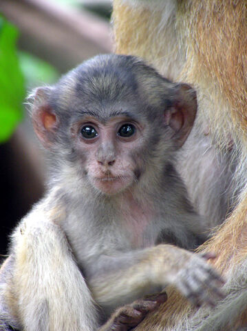 File:Patas monkey baby close.jpg