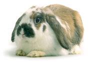 Rabbit intro