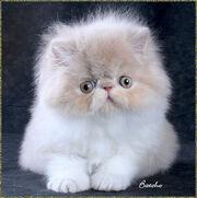 Persian-kitten