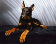 Animals Dogs Beauceron posing on gray background 051187