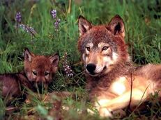Red wolfpup