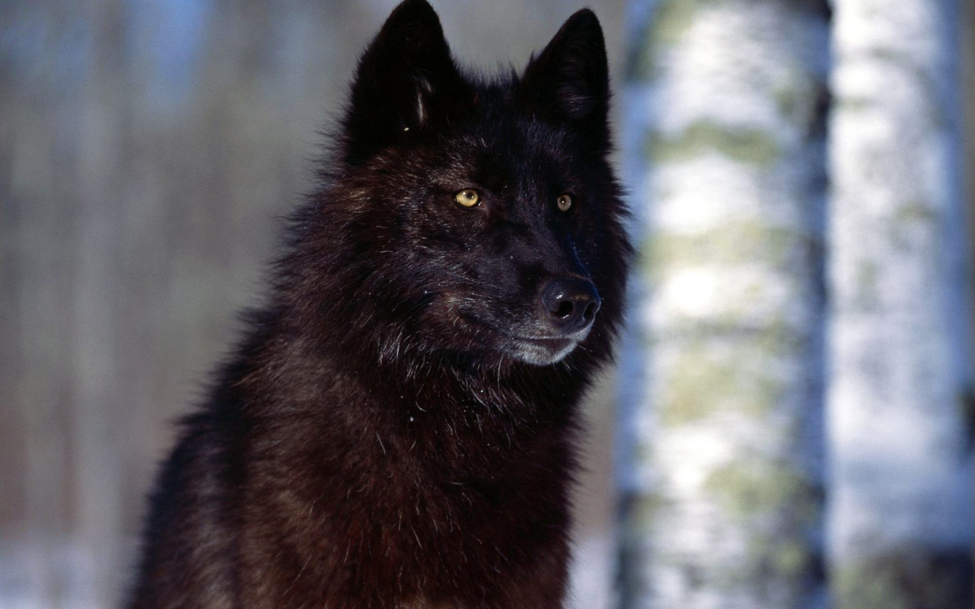 Male black wolf with yellow eyes - photo#12