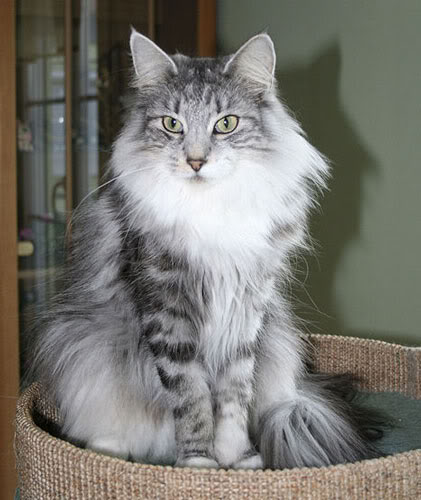 Black Silver Torbie Siberian Cat